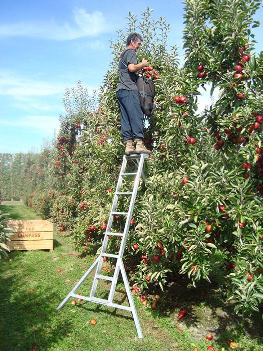 orchard-ladder